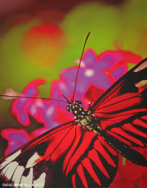 Butterfly-RAFAEL_MONTILLA_7054